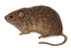 chuot bong cotton rat